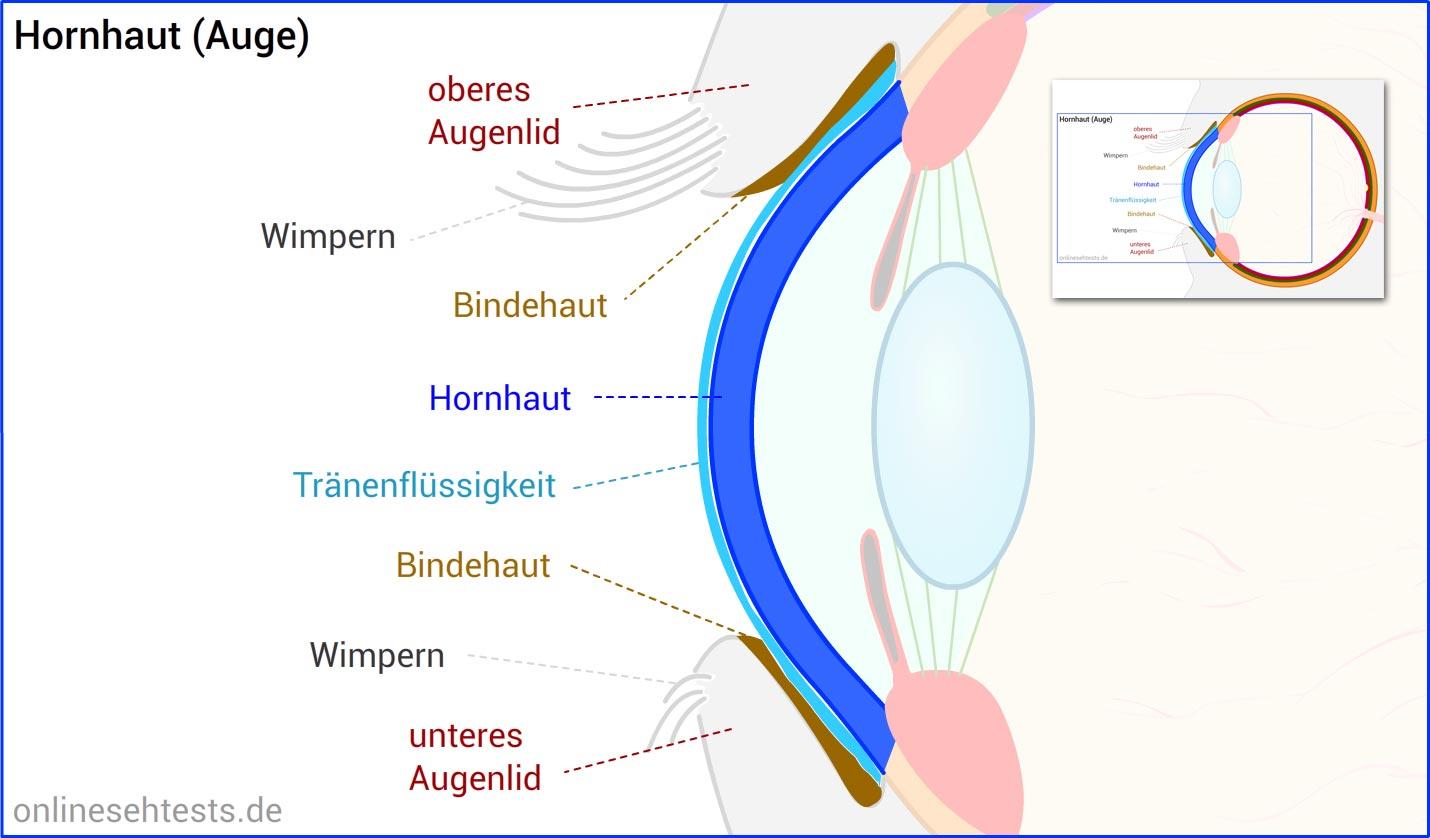 Fein Auge Anatomie Cornea Fotos - Menschliche Anatomie Bilder ...