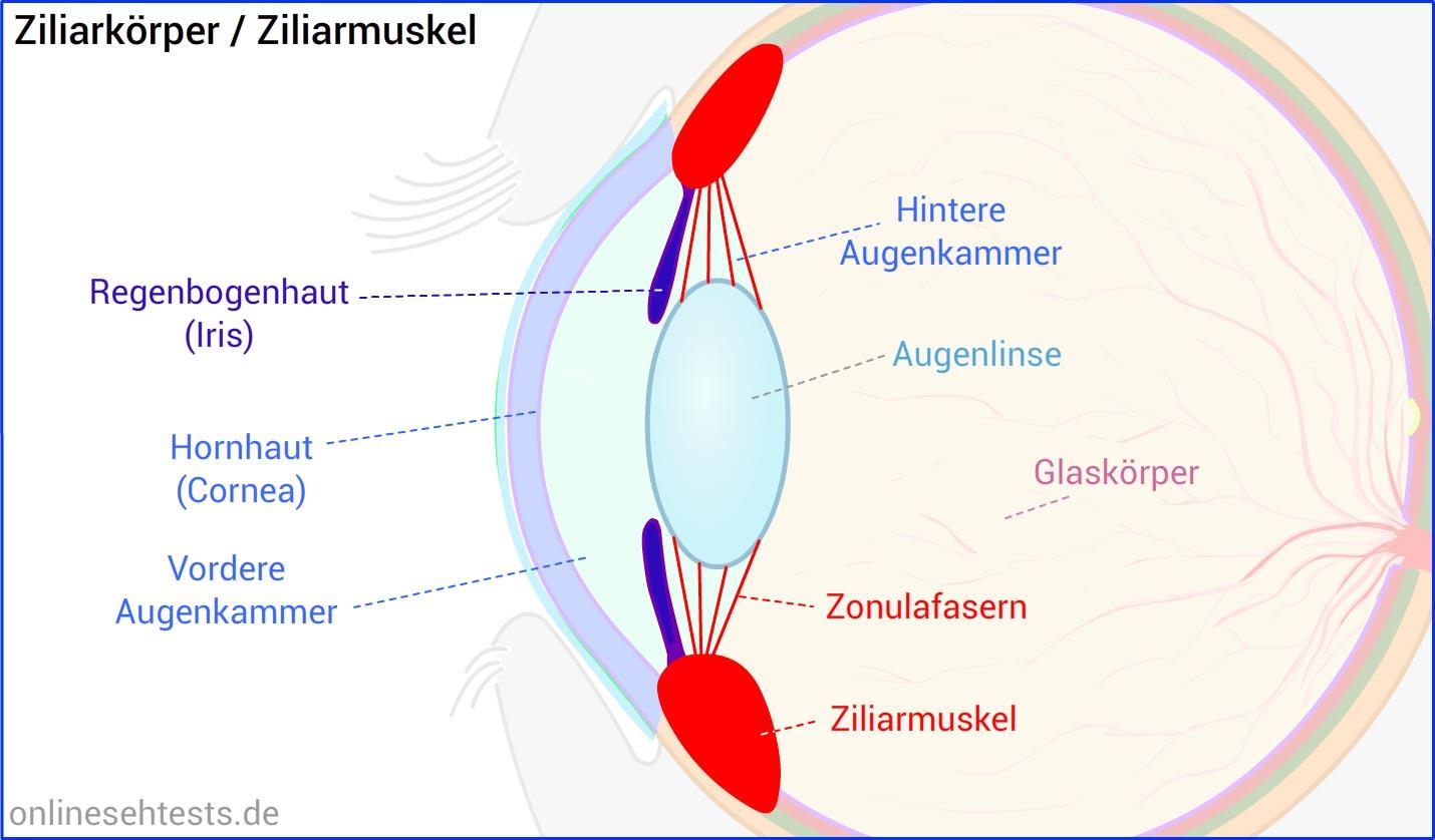Aufbau und Funktion des menschlichen Auges